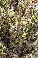 Frutos de Puya alpestris ssp zoellnerii 01.jpg