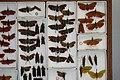 Fulgoridae Drawers - 5036103045.jpg