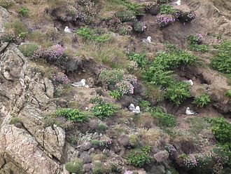 Northern fulmar - Nests in County Mayo, Ireland