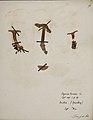 Fungi agaricus seriesI 066.jpg
