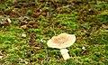 Fungus, Clandeboye Wood (2) - geograph.org.uk - 914060.jpg