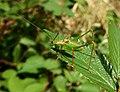 GT Speckled Bush Cricket picnic meadow.jpg