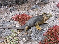 250px-Galapagos_iguana.jpg