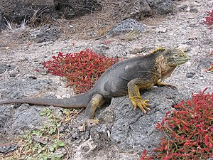 English: An Iguana at Galápagos.