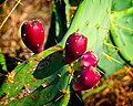 Galveston Prickly Pear (6287392301).jpg