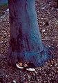 Ganoderma zonatum.jpg