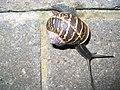 Garden Snail (Helix aspersa) - geograph.org.uk - 537088.jpg