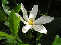 Gardenia jasminoides1MTFL