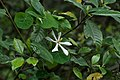 Gardenia jasminoides (4601153628).jpg