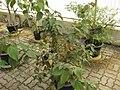 Gardenology.org-IMG 8041 qsbg11mar.jpg
