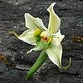 Gavilea araucana (3439497641).jpg
