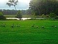 Geese - panoramio (17).jpg