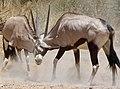 Gemsboks (Oryx gazella) male and female duelling ... (50925135867).jpg