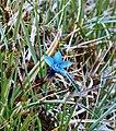 Gentiana verna Spring Gentian (6171505412).jpg