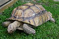 Geochelone sulcata in Blair Drummond Safari Park.JPG