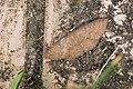 Geometridae (39433452970).jpg