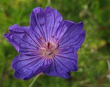 Geranium incanum 9154s