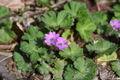 Geranium molle-01 (xndr).jpg