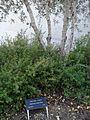 Gertruda Babilinska tree.jpg