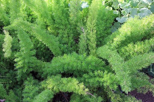 Gfp-asparagus-fern