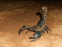A giant forest scorpion from the Western Ghats in Karnataka, India