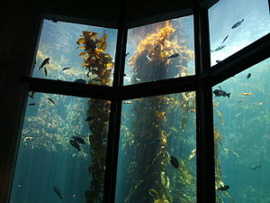 Kelp - Image: Giant kelp (Macrocystis pyrifera) 01