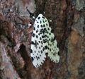 Giant leopard moth 20050612 173823 1.1300x1210.jpg