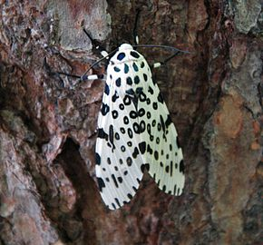 Description de l'image Giant leopard moth 20050612 173823 1.1300x1210.jpg.