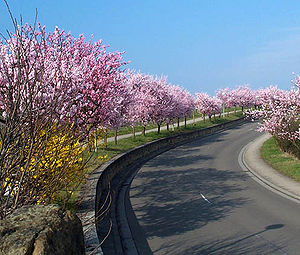 German Wine Route - Almond blossom near Gimmeldingen