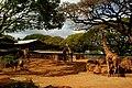 Giraffe & Zebras (4564605007).jpg