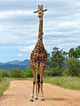 Giraffe (Giraffa camelopardalis) with oxpeckers (13605548675).jpg