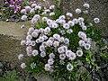 Globularia trichosantha 1.JPG