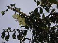 Glochidion ellipticum var. ellipticum (15583884873).jpg