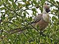 Go-away-bird, bare-faced 12-09 g.jpg