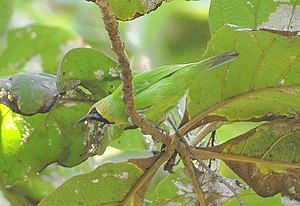 Jerdon's leafbird - Male in Ankola, India
