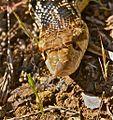 Gopher Snake (Pituophis catenifer) (5501556326).jpg