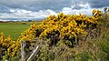 Gorse bushes in flower Bucksburn, Aberdeen.jpg