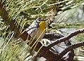 Grace's Warbler (33807438371).jpg