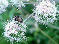 Graphomyia maculata . Male. - Flickr - gailhampshire.jpg