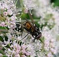 Graphomyia maculata . Male. Muscidae. - Flickr - gailhampshire (6).jpg