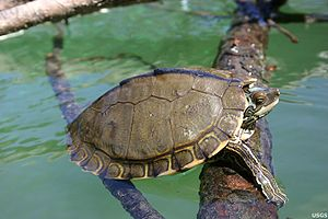 Pearl River map turtle - Graptemys pearlensis