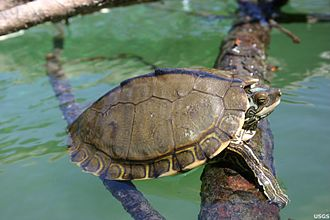 Pearl River map turtle - Image: Graptemys Pearlensis
