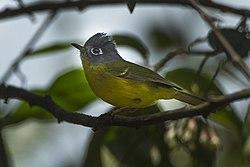 Gray-cheeked Warbler - Bhutan S4E1013 (19271375181).jpg