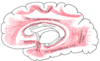 Diagram of the human brain, with uncinate fasciculus indicated on lower left.