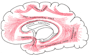 Association fiber - Diagram showing principal systems of association fibers in the cerebrum.
