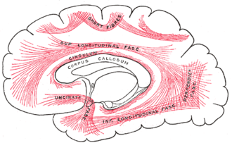 Association fiber - Diagram showing principal systems of association fibers in the cerebrum.