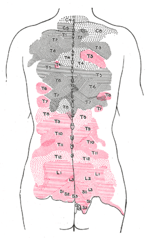 Medial cluneal nerves - Areas of distribution of the cutaneous branches of the posterior divisions of the spinal nerves. The areas of the medial branches are in black, those of the lateral in red.