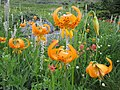 Grayback Mountain Meadows, Tiger Lillies - panoramio.jpg