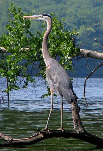 Harriman State Park (New York) - Great blue heron at Sebago Lake