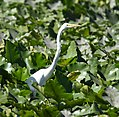 Great Egret (35481394231).jpg